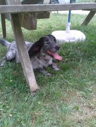 Gahou, chien Épagneul breton