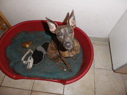 Gaia, chien Whippet
