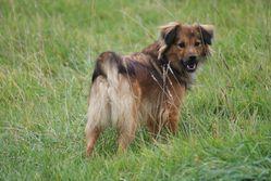 Gaia, chien Berger des Pyrénées