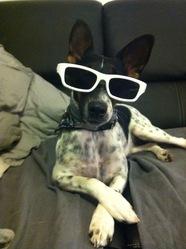 Gaia, chien Fox-Terrier