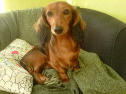 Gaia, chien Teckel