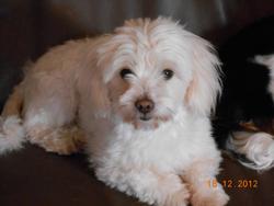 Gaia, chien Coton de Tuléar