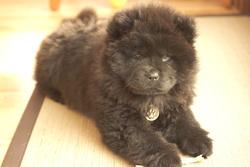 Gaia, chien Chow-Chow