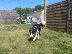Gaia, chien Border Collie