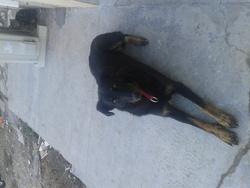 Gaia, chien Beauceron