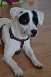 Gaia, chien Jack Russell Terrier