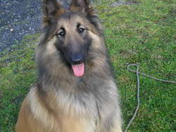 Gaia, chien Berger belge