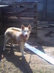 Gaia, chien Husky sibérien