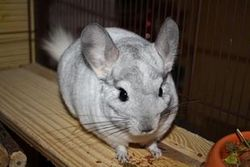 Gaia, rongeur Chinchilla