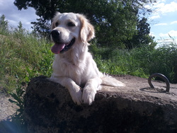 Gaia, chien Golden Retriever