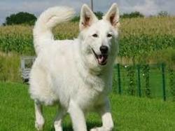 Gaia, chien Cocker anglais