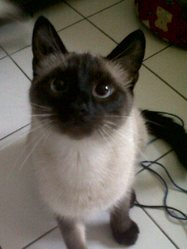 Gaia, chat Siamois