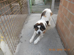 Gaia, chien Saint-Bernard