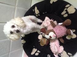 Gaia, chien Caniche
