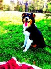 Gaia, chien Berger australien