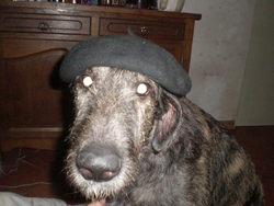 Gaia, chien Lévrier irlandais