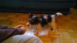 Gaia, chien Yorkshire Terrier