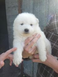 Gaia, chien Samoyède
