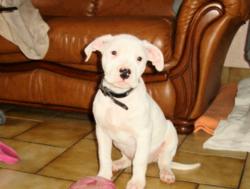 Gaia, chien Dogue argentin