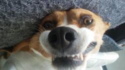 Gaia, chien Beagle