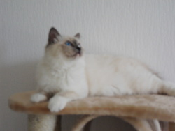Gaia, chat Birman