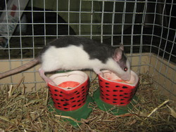 Gaia, rongeur Rat