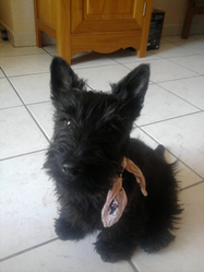 Gaia, chien Scottish Terrier