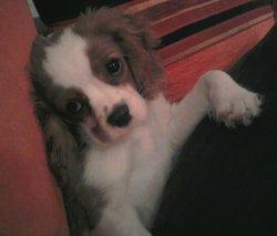 Gaia, chien Cavalier King Charles Spaniel