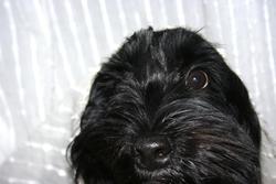 Gaia, chien Border Collie
