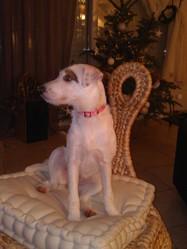 Gaia, chien Parson Russell Terrier