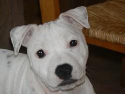Gaia, chien Staffordshire Bull Terrier