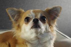 Gaia Des Disciples De Yoda, chien Chihuahua