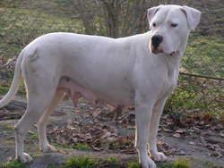 Gaia Des Larmes Du Soleil , chien Dogue argentin