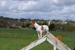 Gaia_du_bois_ De_morchene, chien Jack Russell Terrier