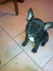 Gaialea, chien Bouledogue français