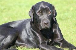 Gaiia, chien Labrador Retriever