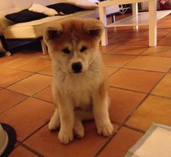 Gaiko, chien Akita Inu