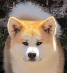 Gaikô, chien Akita Inu