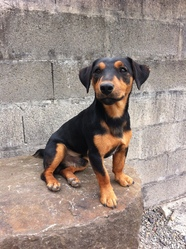 Gaiko , chien Jagdterrier