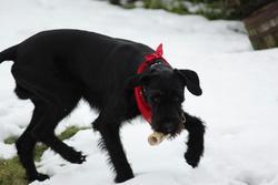 Gaiko, chien Schnauzer