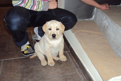 Gaiko, chien Labrador Retriever