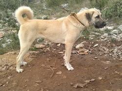 Gaina Fd4s, chien Berger d'Anatolie