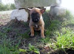 Gaisha, chien Berger belge