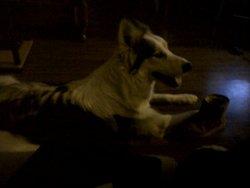 Gaiva , chien Husky sibérien