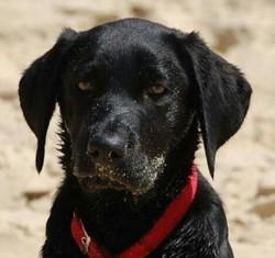 Gaizko, chien Labrador Retriever