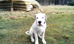 Gajo Tiburon Blanco, chien Dogue argentin