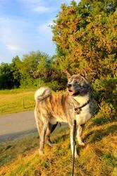 Gaki, chien Akita Inu