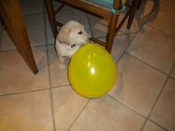 Gala , chien Labrador Retriever