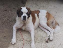 Gala, chien Saint-Bernard