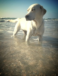 Gala, chien Labrador Retriever